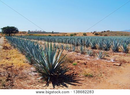 A beautiful Lanscape in  tequila, Jalisco, mexico