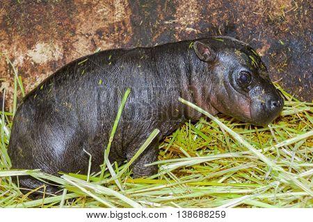 Pygmy Hippo Baby