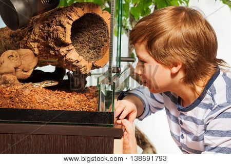 Young boy watching Royal or Ball python at the reptile house terrarium  standing close to the glass