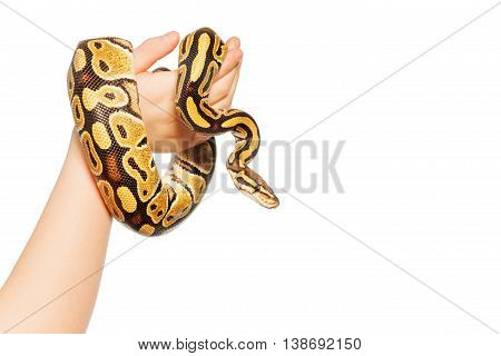 Picture of Royal or Ball python on kid's hand, isolated on white