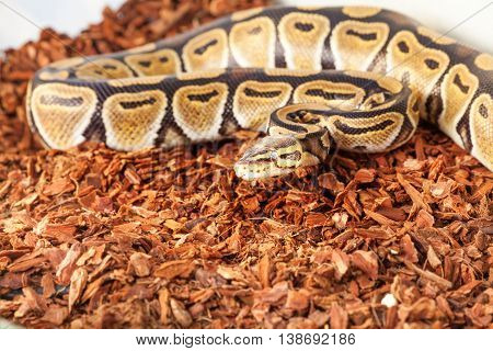 Picture of Royal python having rest on saw dust bedding in terrarium