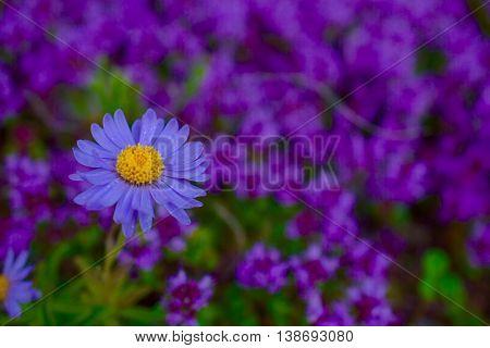 Aster alpinus Flower alone in the garden.