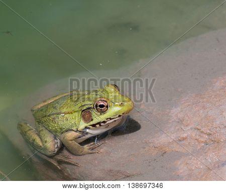 Bullfrog sitting in the water in a swamp.