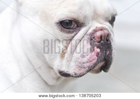 absent-minded French bulldog or white French bulldog