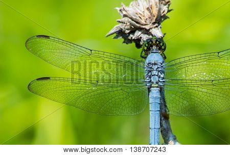 Blue dasher dragonfly (Pachydiplax longipennis). A common dragonfly in the United States and Canada