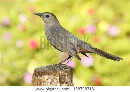 Gray Catbird (Dumetella carolinensis) on a perch with flowers