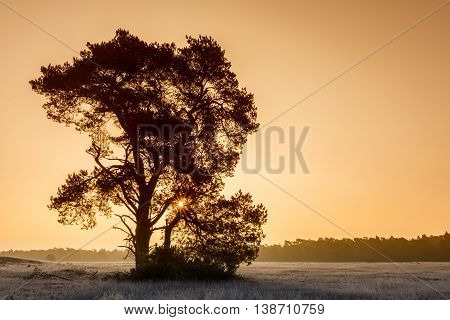 Mighty Pine Tree At Winter Sunrise At Veluwe