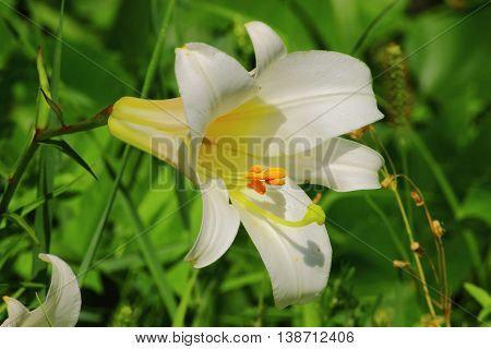 A striking garden flower with white petals and orange stamens that stand out on white background flower