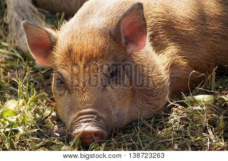 Young pot - bellied pig at a farm