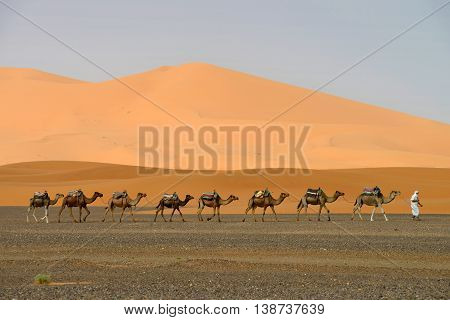 SAHARA, MOROCCO - JULY 12: Camel caravan going through the sand dunes, July 12, 2013 in Sahara Desert, Morocco. Sahara Desert very popular tourist place in east Morocco.