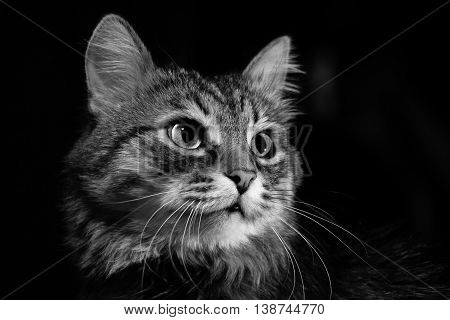 portrait of a cat with red eyes and huge mustache Russia