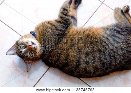 Beautiful Stripped Cat Lying Down On A Marmor Floor. Eye Contact.