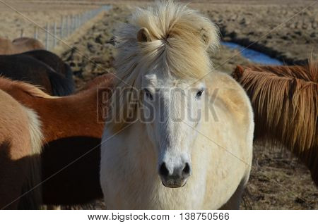 Gorgeous wind blown white Icelandic horse with his forelock standing straight up.