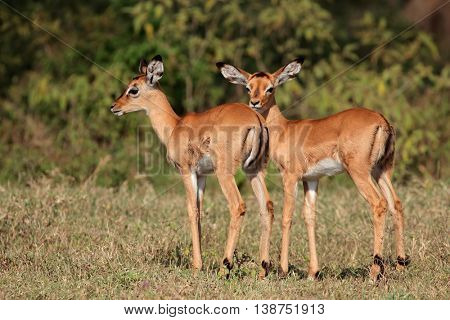 Two small impala antelope (Aepyceros melampus) lambs, Lake Nakuru National Park, Kenya