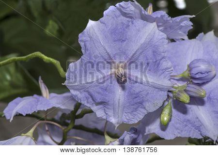 Mauve Bearded Iris Flower In A Garden, Close Up