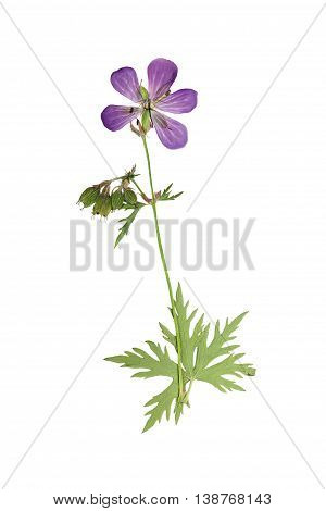Pressed and dried flower geranium pretense (cranesbill) on a stalk with green leaves. Isolated on white background. For use in scrapbooking floristry (oshibana) or herbarium.