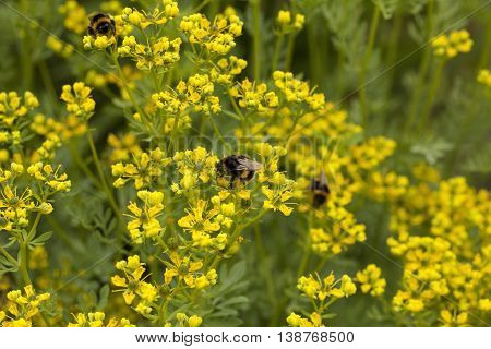 Bumblebees collecting pollen from the Ruta Graveolens flowers.
