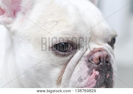 absent-minded French bulldog, a white French bulldog
