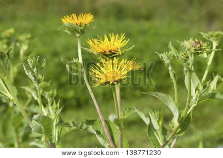 Inula helenium (Elecampane)blossoming in a summer meadow.