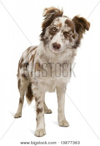 Red Merle Border Collie, 6 months old, in front of white background