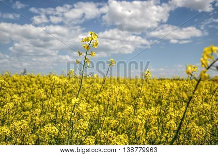 Field of yellow flowering oilseed rape isolated on a cloudy blue sky in springtime (Brassica napus), Blooming canola, rapeseed plant landscape. Slovakia