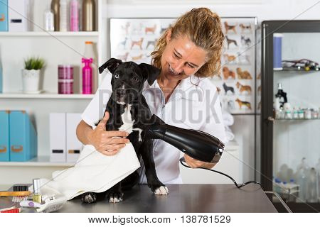 Veterinarian drying your dog American Staffordshire after a bath