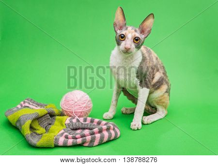 Cat breed Cornish Rex and the subjects of knitting on a green background