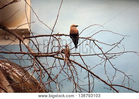 A blue-bellied roller (Coracias cyanogaster) perches on a branch.