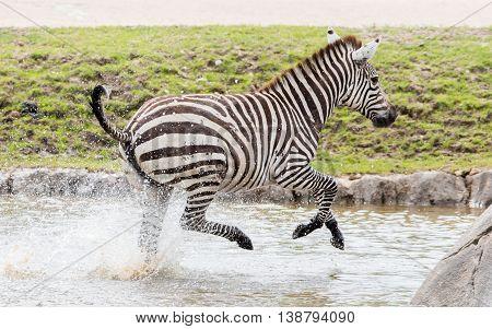 Zebra Running Through Water