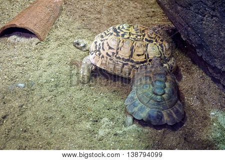A male Kleinmann's tortoise (Testudo kleinmanni )--also called the Egyptian tortoise and Leith's tortoise--approaches the back of a larger female.