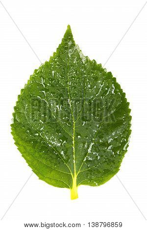 Nature concept. Nice green leaf with waterdrops isolated on white background