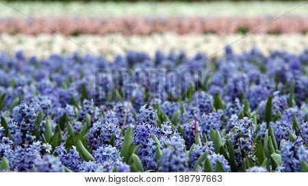 Fields of Blooming Hyacinth Flowers. Beautiful hyacinth flower fields in Netherlands.
