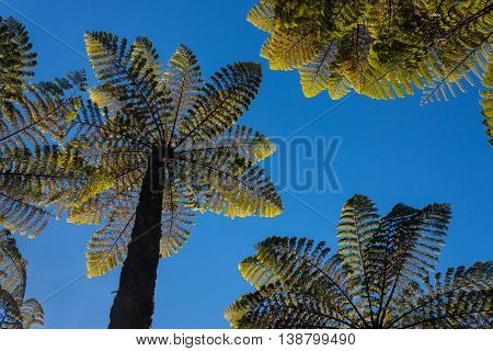 Cyathea dealbata - silver fern trees against blue sky