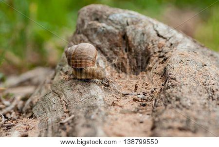 the big brown snail creeps on a long snag,