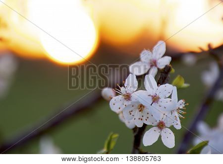 Cherrywood flowers in the lovely sunset at springtime