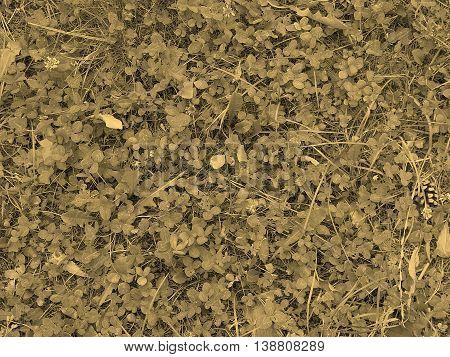 Clover Meadow Sepia