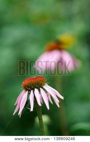 Pink Echinacea Coneflower closeup over green foliage