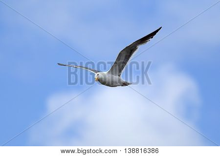 Seagull with wings spread in the sky above Westport Washington.