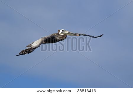 Eastern brown pelican in flight in the sky above Westhaven Cove in Westport Washington.
