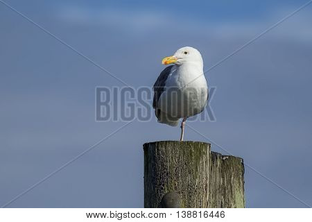 Herring gull perched on one leg at Westhaven Cove in Westport Washington.