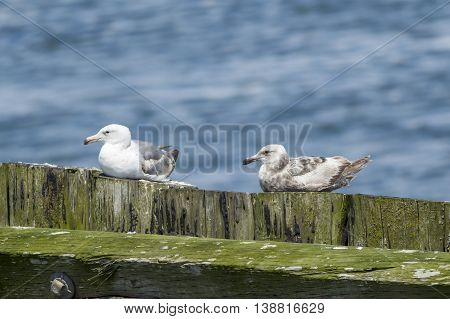 Seagulls sitting on a wood wall at Westhaven Cove in Westport Washington.
