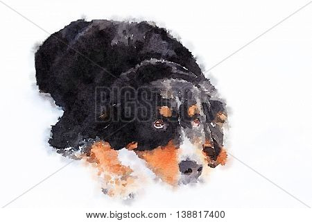 Digital watercolour of a bernese mountain dog laying on a floor