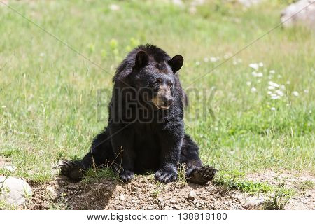 A lone black bear in the summer