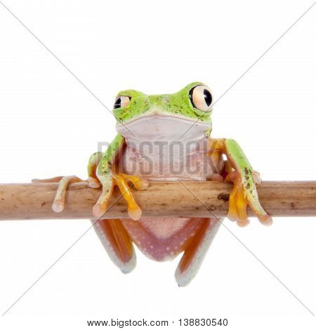Lemur leaf frog, agalychnis lemur, isolated on white background