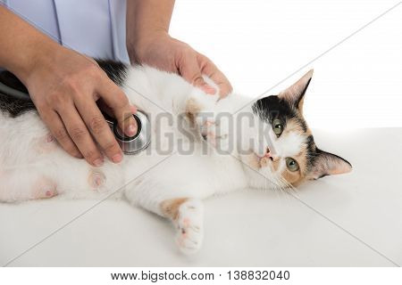 veterinarian examines a calico cat on white background isolated