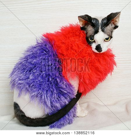 beautiful Sphynx cat wearing red and purple pullover
