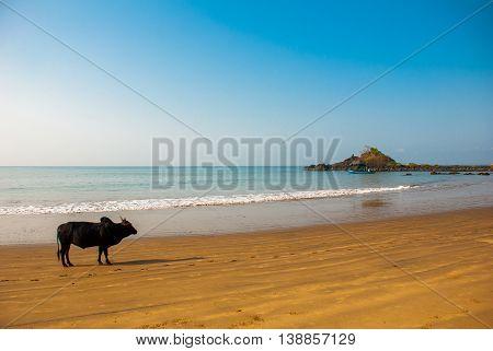 Black Bull Is On The Om Beach. Gokarna, Karnataka, India