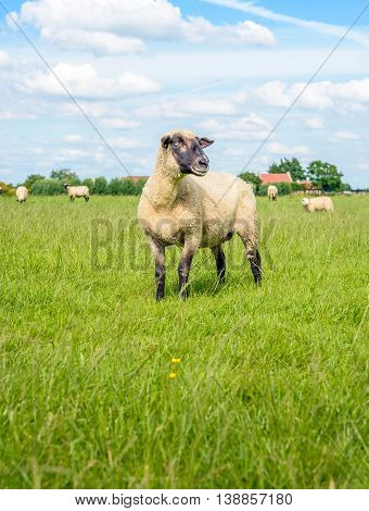 One aside looking blackheaded sheep in the foreground of a group of sheep in a Dutch meadow with fresh green grass on a sunny summer day.