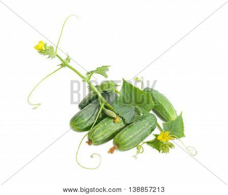 Several fresh cucumbers and stalk with leaves tendrils and flowers on a light background