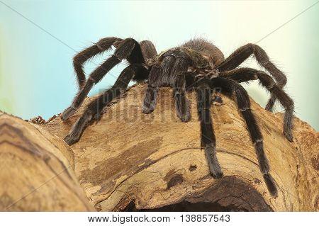 Mexican black velvet tarantula on the branch